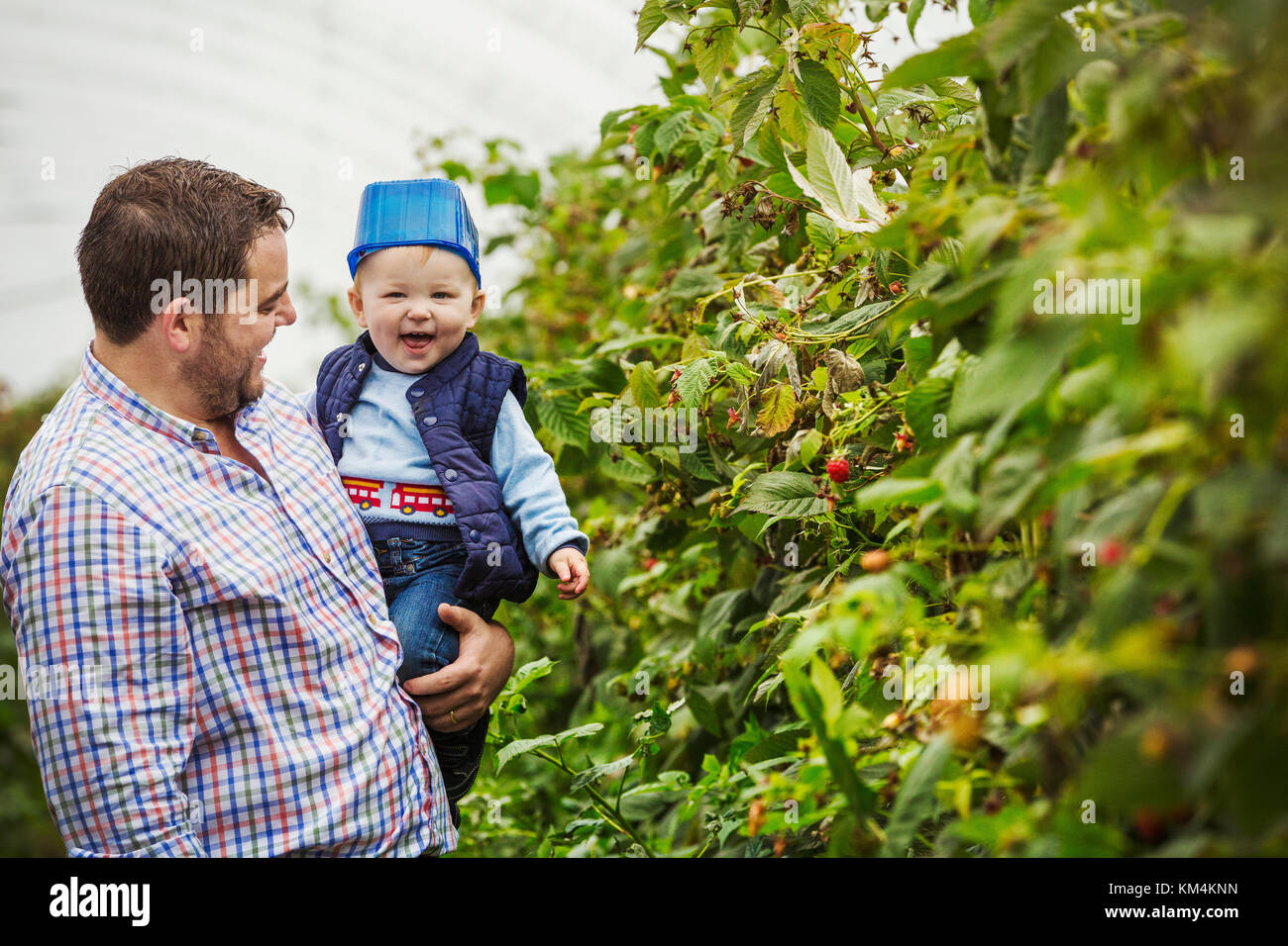 An adult man and a toddler in a polytunnel among soft fruit bushes picking autumn raspberries. Baby with a blue - Stock Image