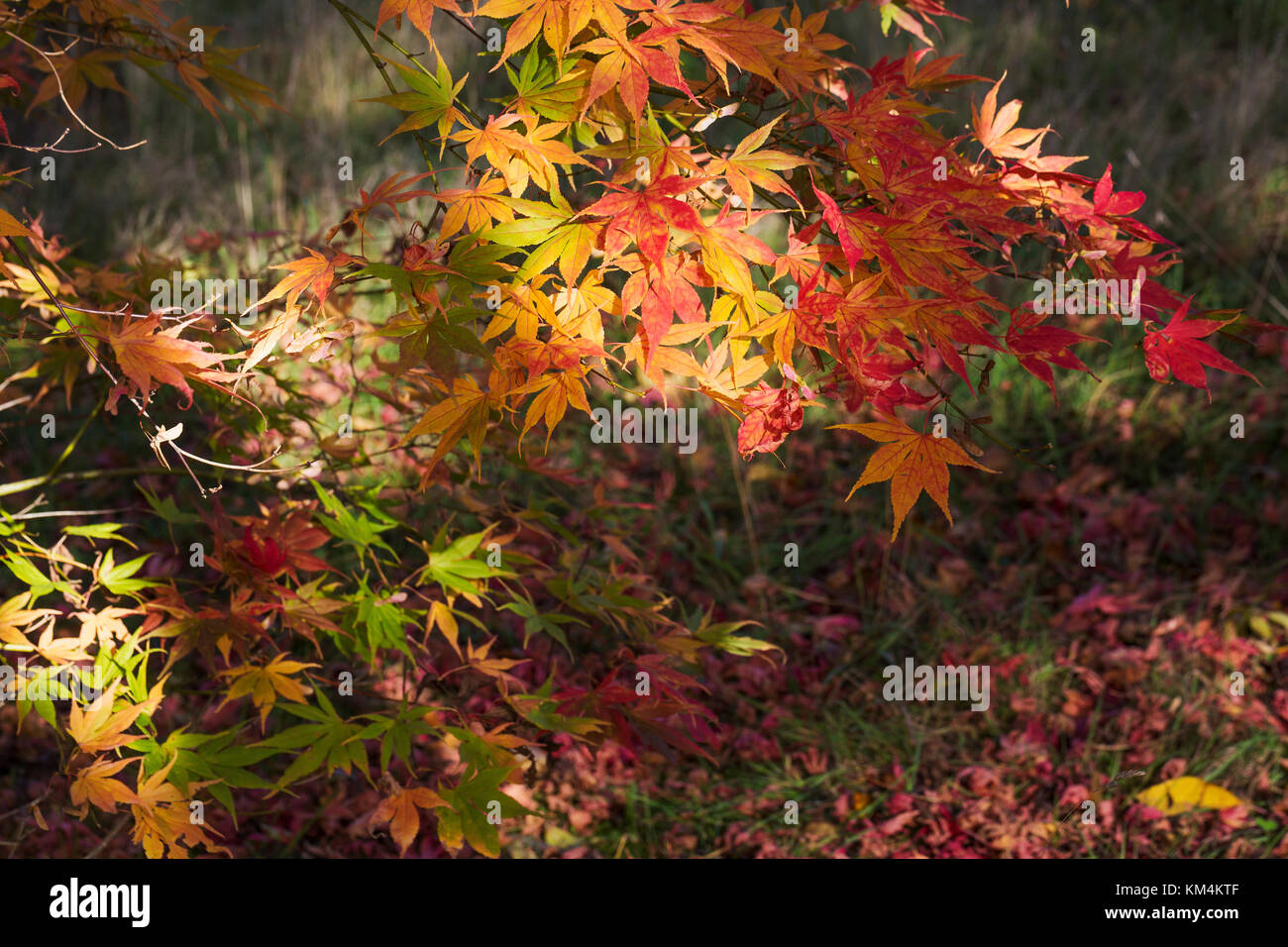 Autumn colours, foliage of an acer tree, Japanese maple with delicate palmate shapes, vivid colours, purple red - Stock Image
