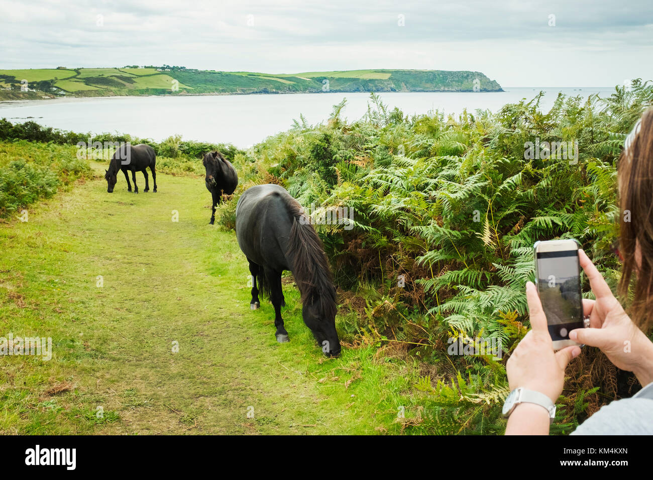A woman taking a photograph of three wild ponies on a path grazing on bracken, on the coast. - Stock Image