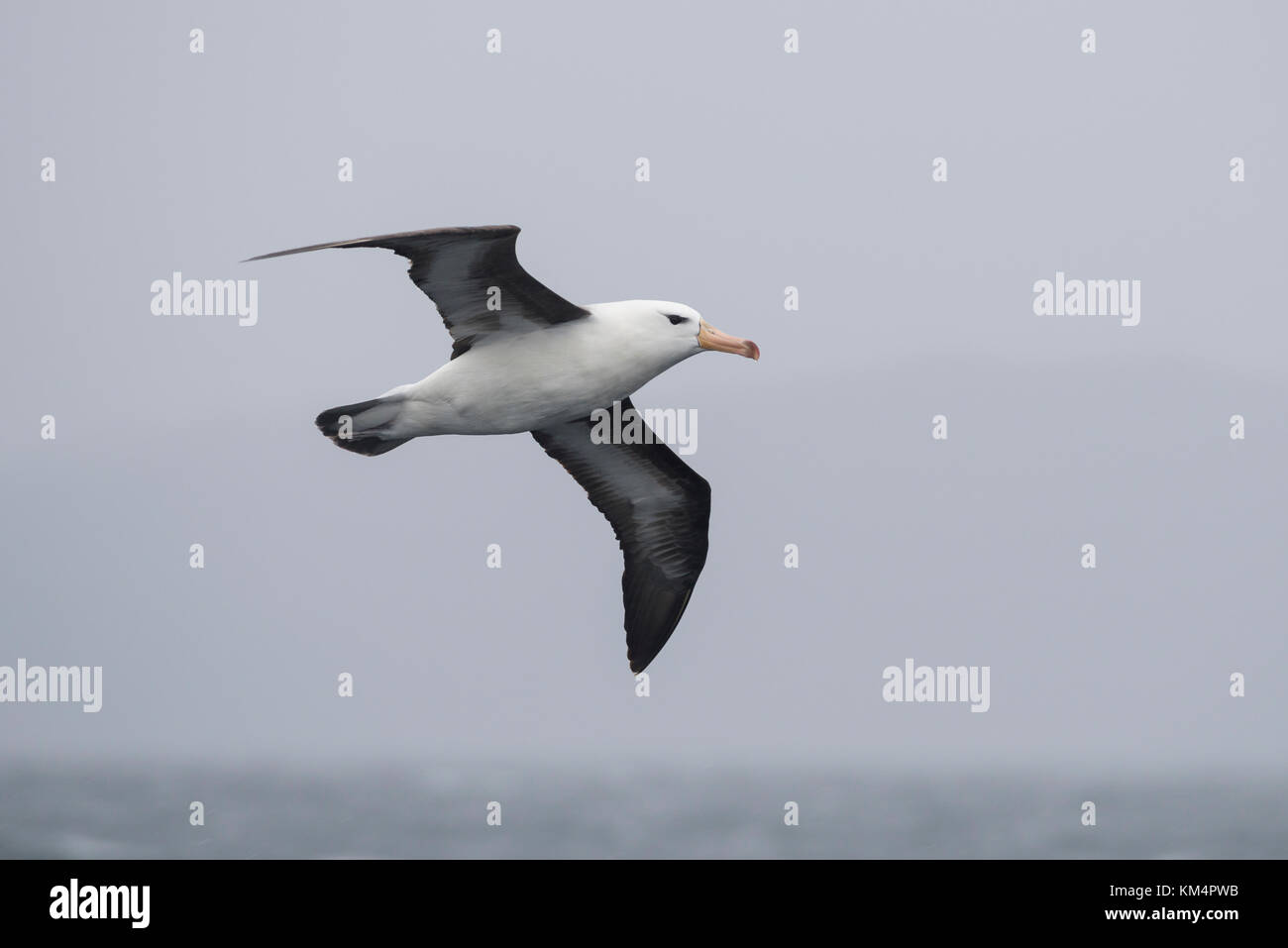 Black-browed Albatross in southern Chile - Stock Image