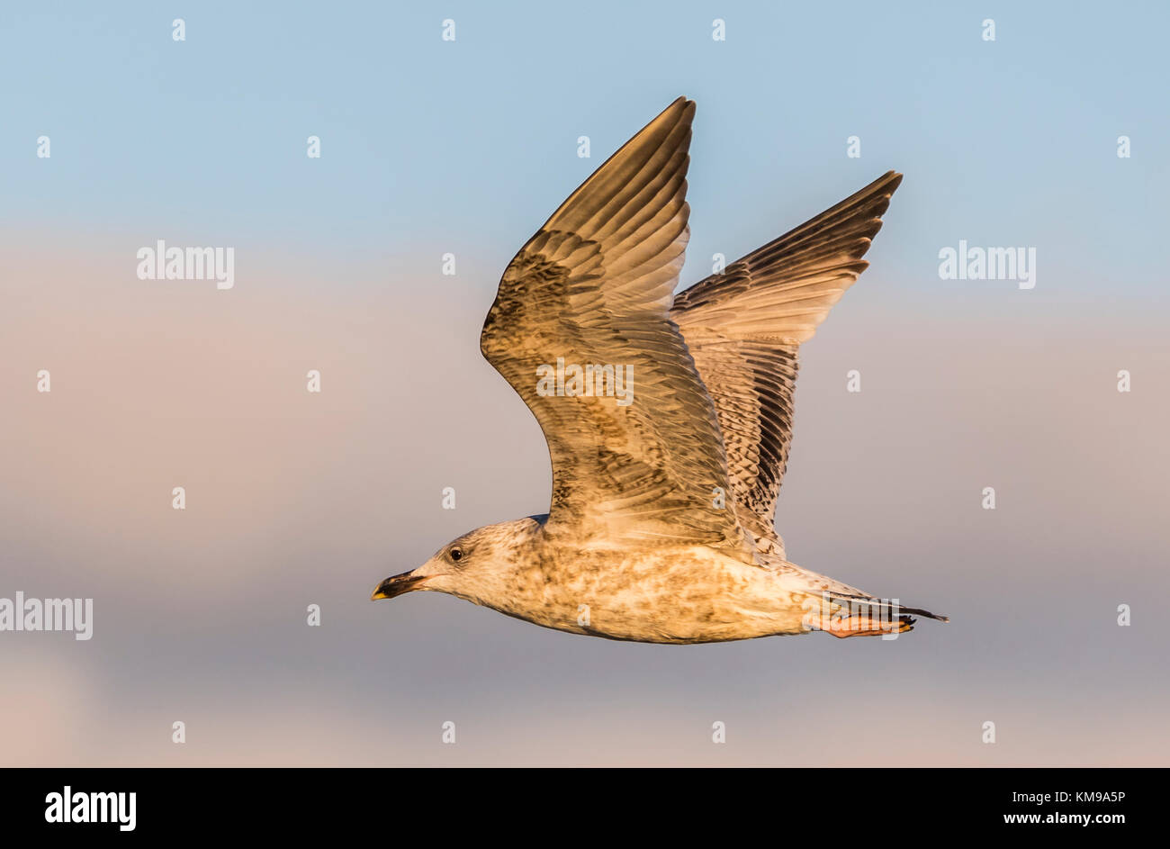Juvenile European Herring Gull (Larus argentatus) flying in Winter in the UK, with it's wings up, lit up by - Stock Image