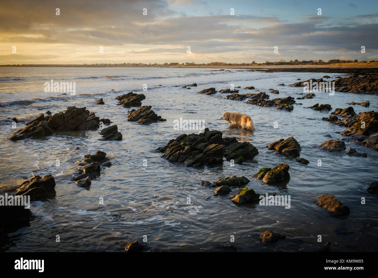golden-retriever-on-newton-beach-south-w