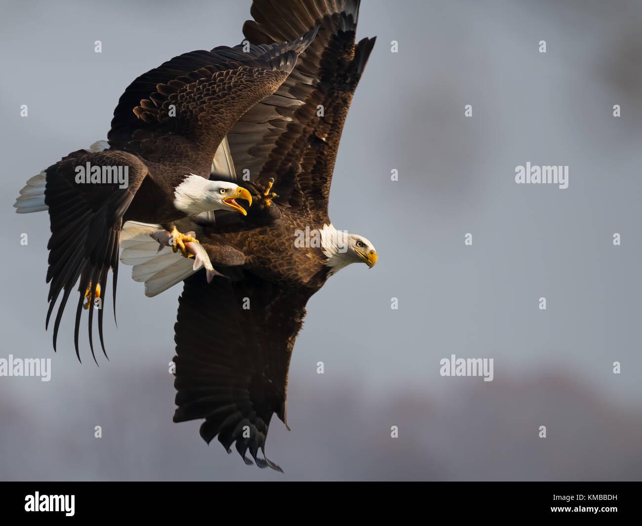 Bald Eagle Battle - Stock Image