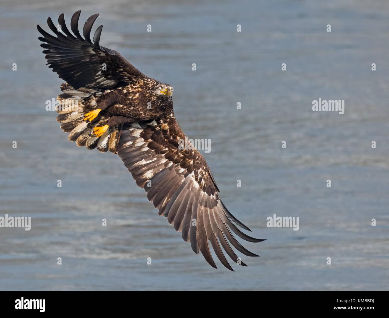 Juvenile Bald Eagle in Flight - Stock Image