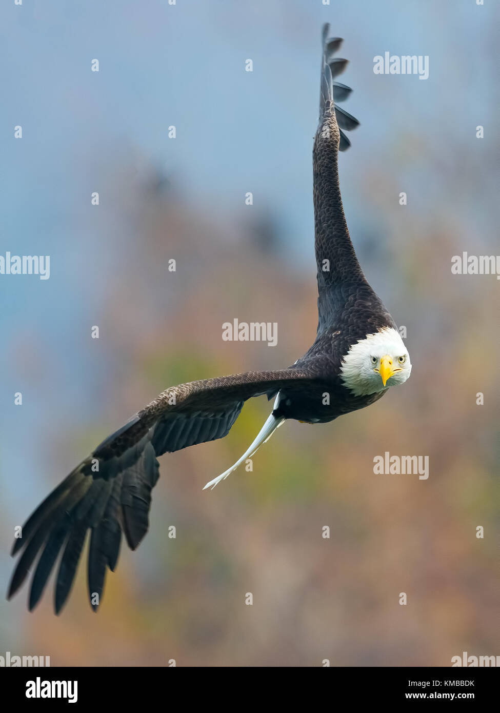 Bald Eagle in Flight - Stock Image