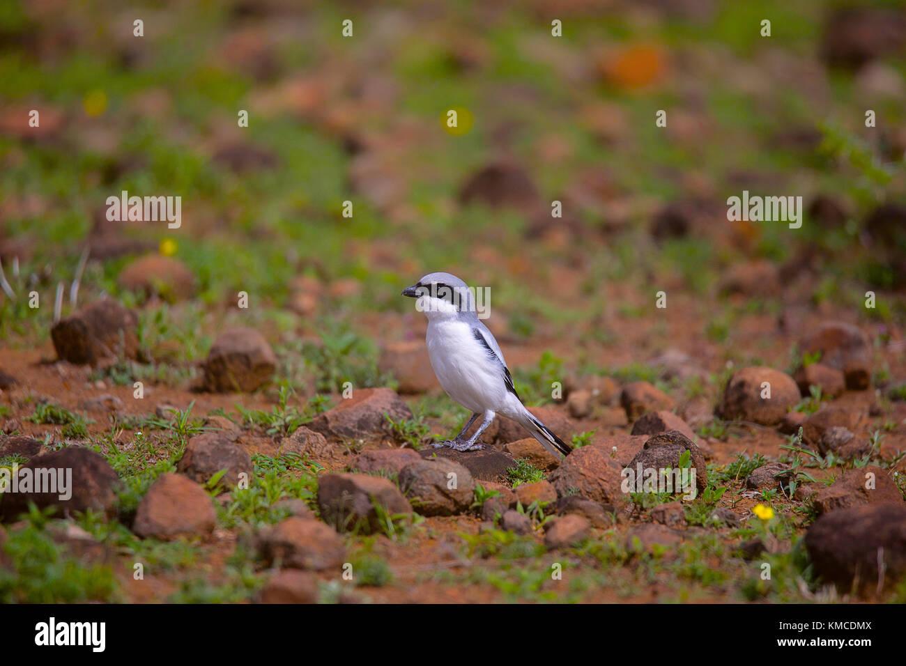 Southern Grey Shrike, Lanius meridionalis Supa, Maharashtra, India - Stock Image