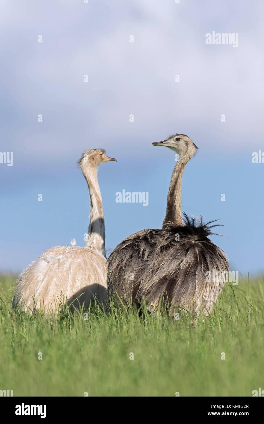 Greater rhea / American rhea / ñandú (Rhea americana) two females foraging in farmland, invasive species - Stock Image