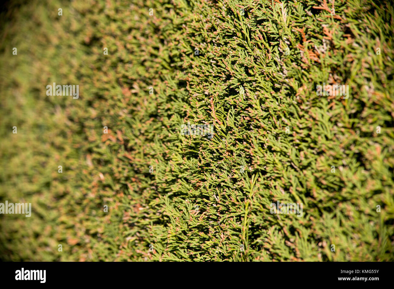 Yew Bush Stock Photos & Yew Bush Stock Images - Alamy