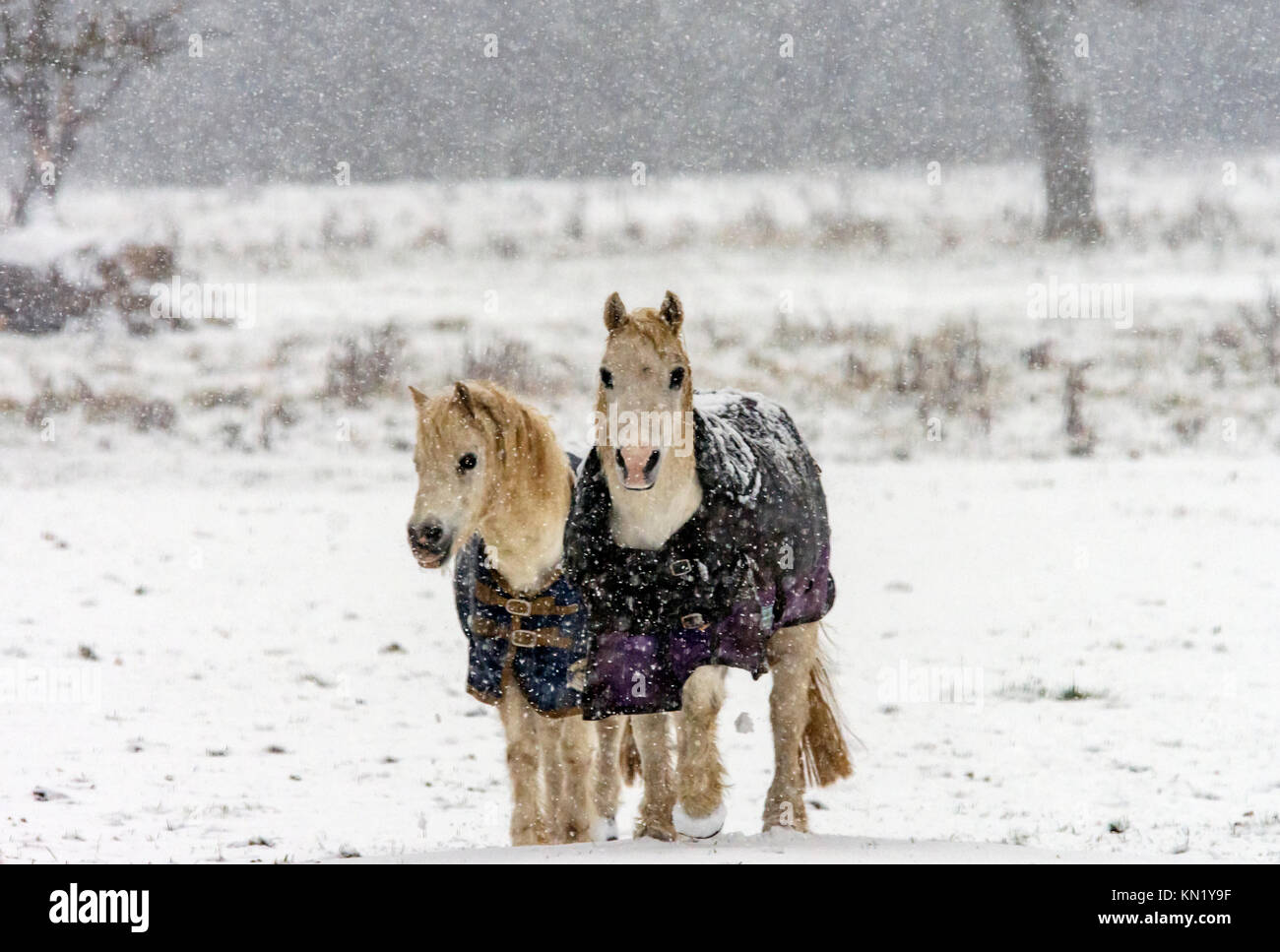 Burton Lazars December 10th 2017: Artic snow blast rescue horses enjoy the winter snow showers with fun and forlics, - Stock Image
