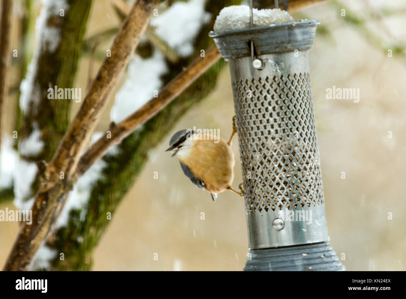 Burton Lazars December 10th 2017: Garden birds during cold snaps depend highly on garden bird feeders for that little - Stock Image