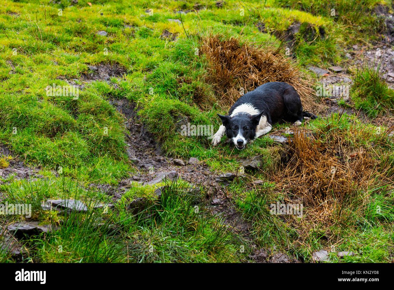 Ireland Sheep Dog Show