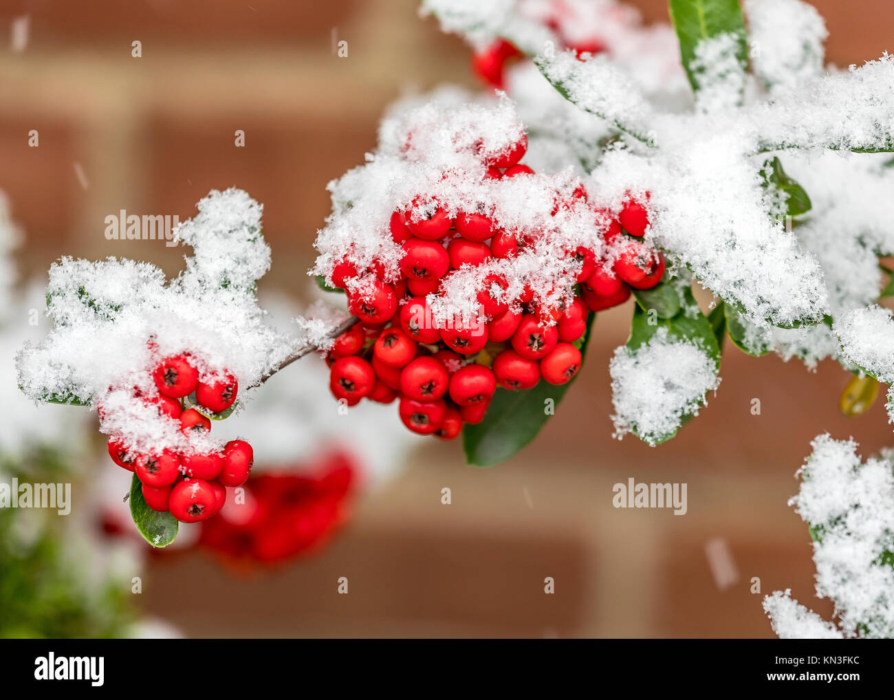 Bunch of rowanberries covered by snow - Stock Image