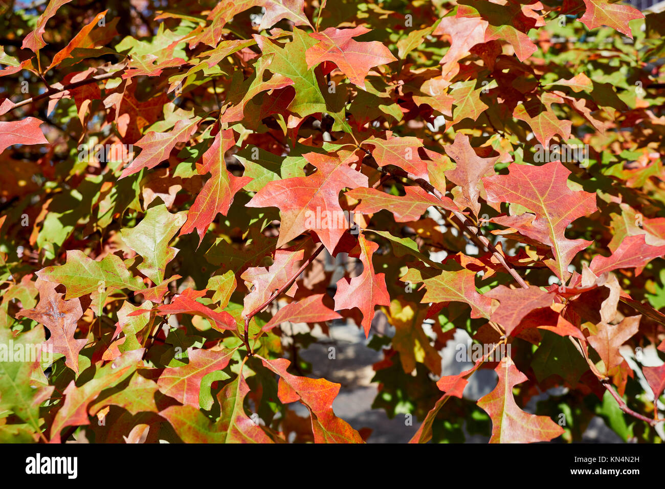 Quercus Rubra L, or Northern Red Oak, Eastern Red Oak leaves just turning during the Fall or Autumn season serving - Stock Image