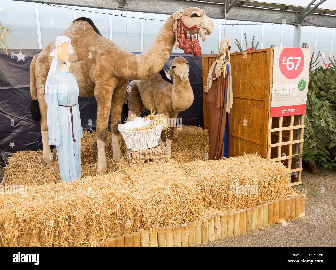 Christmas nativity display with camels in garden centre, Suffolk, England, Uk - Stock Image
