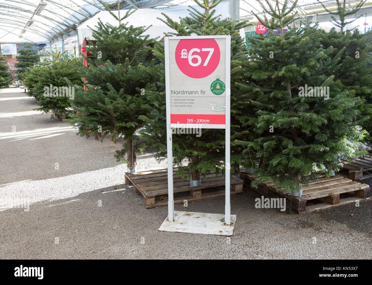 Nordmann fir Christmas trees on sale for £67 in garden centre, Suffolk, England, UK - Stock Image