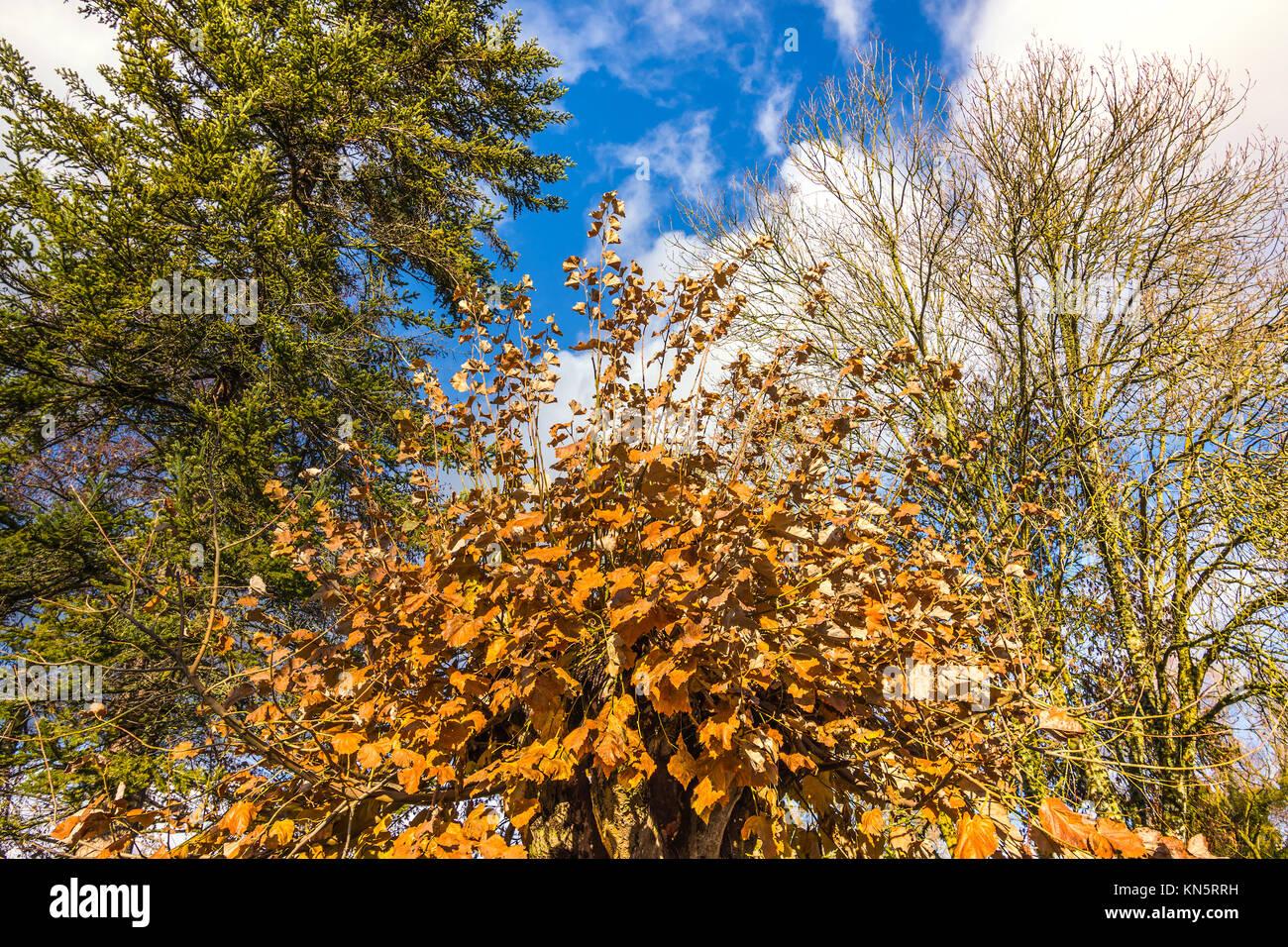 Autumn leaves on pollarded Lime tree. - Stock Image
