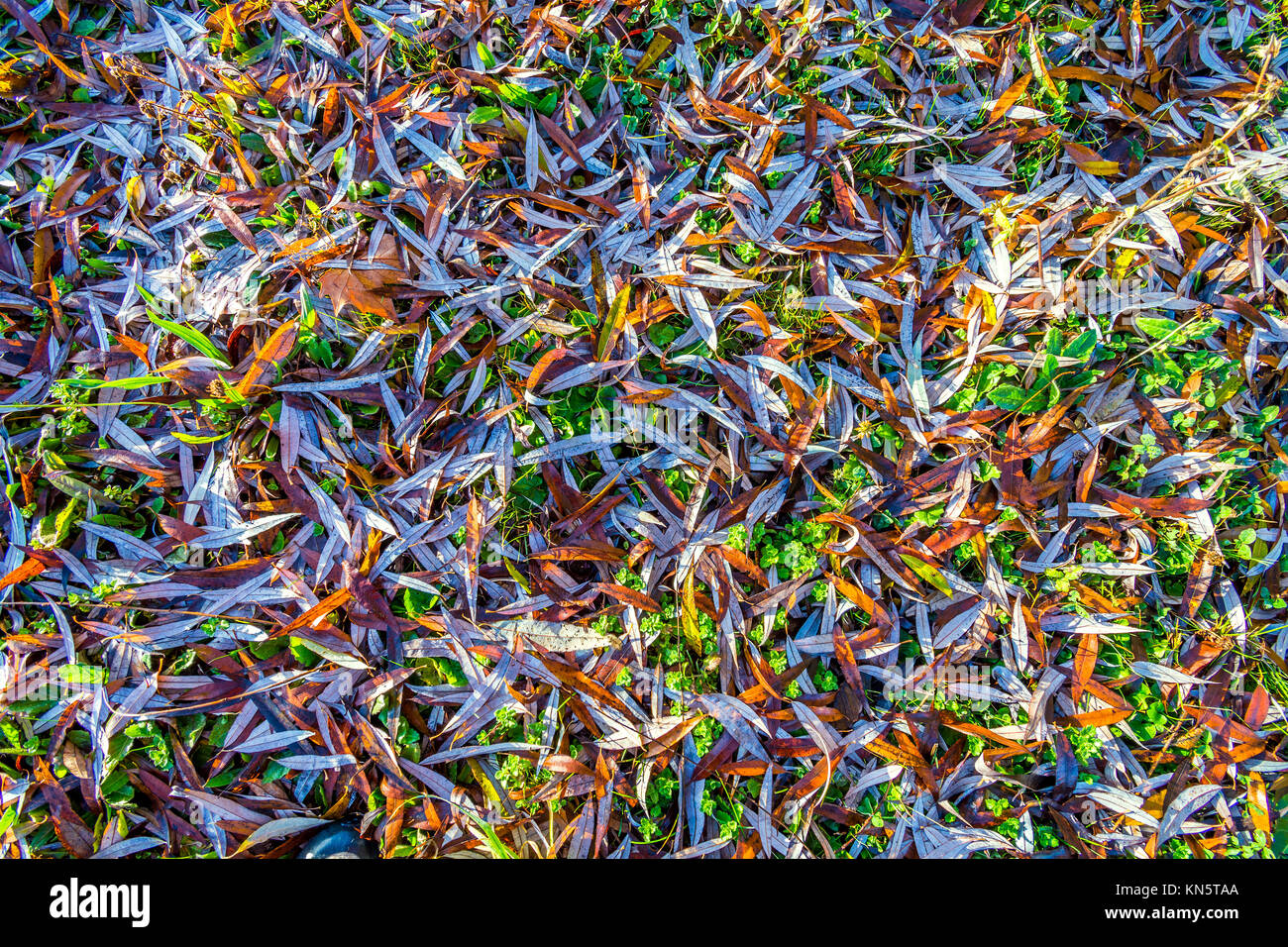 Willow tree leaves on ground. - Stock Image