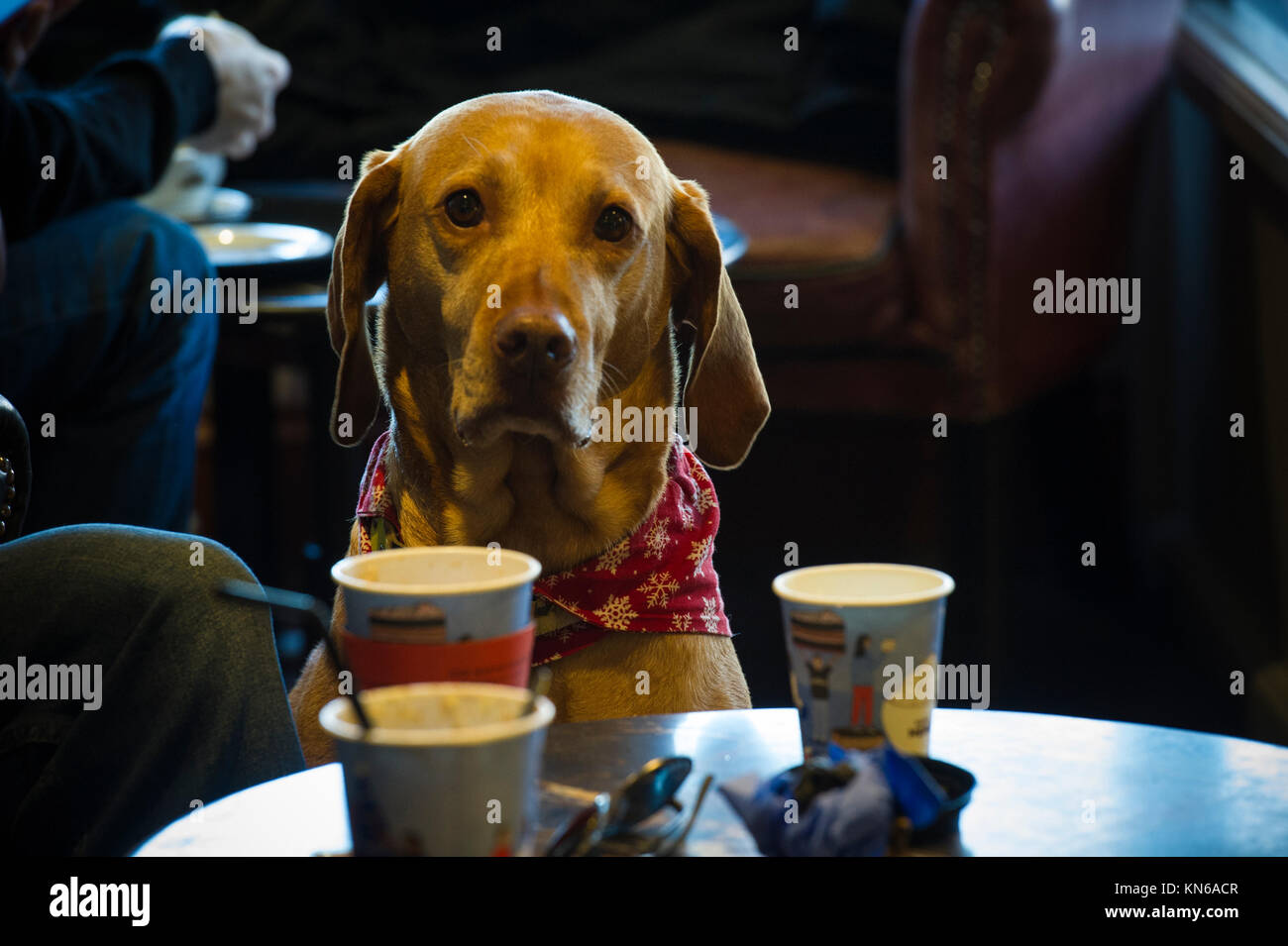 A well behaved Weimaraner dog in a cafe in London - Stock Image