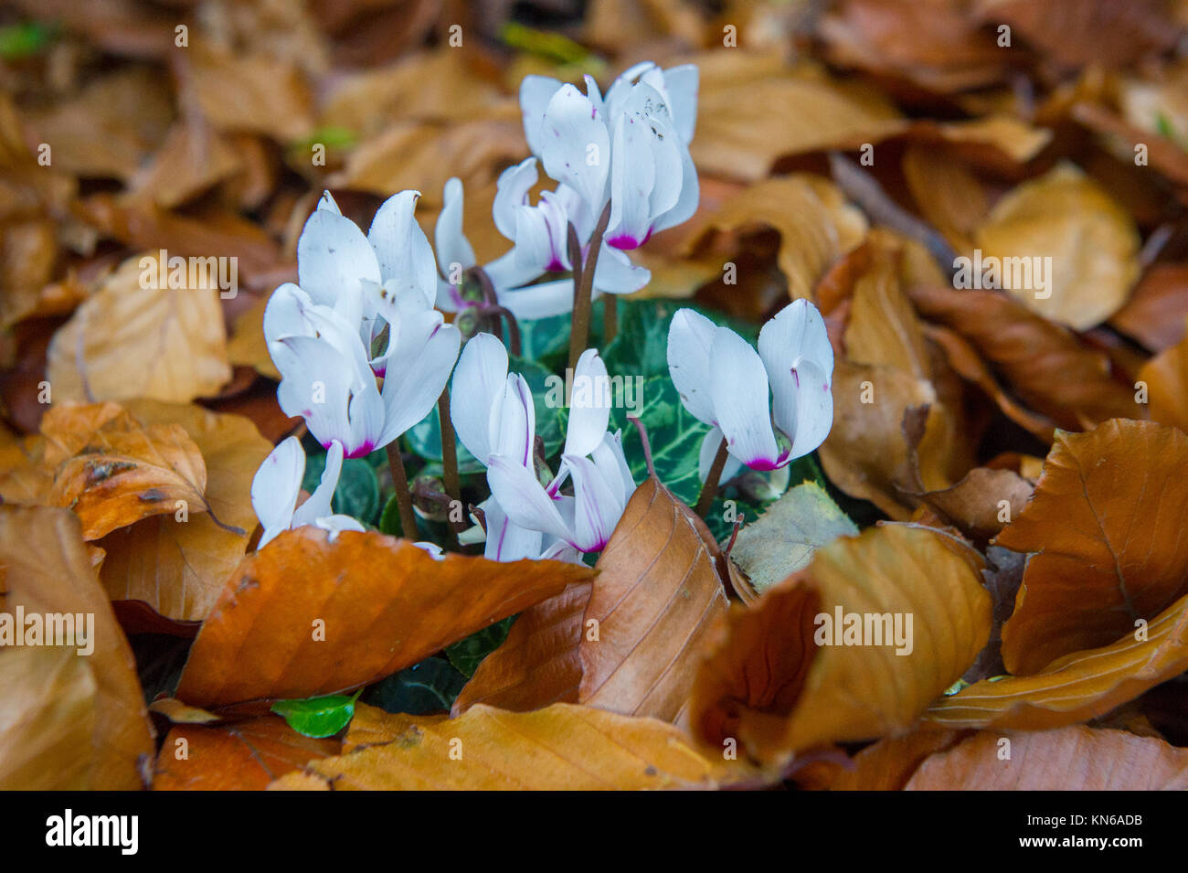 A Crocus flower amongst fallen autumn leaves - Stock Image
