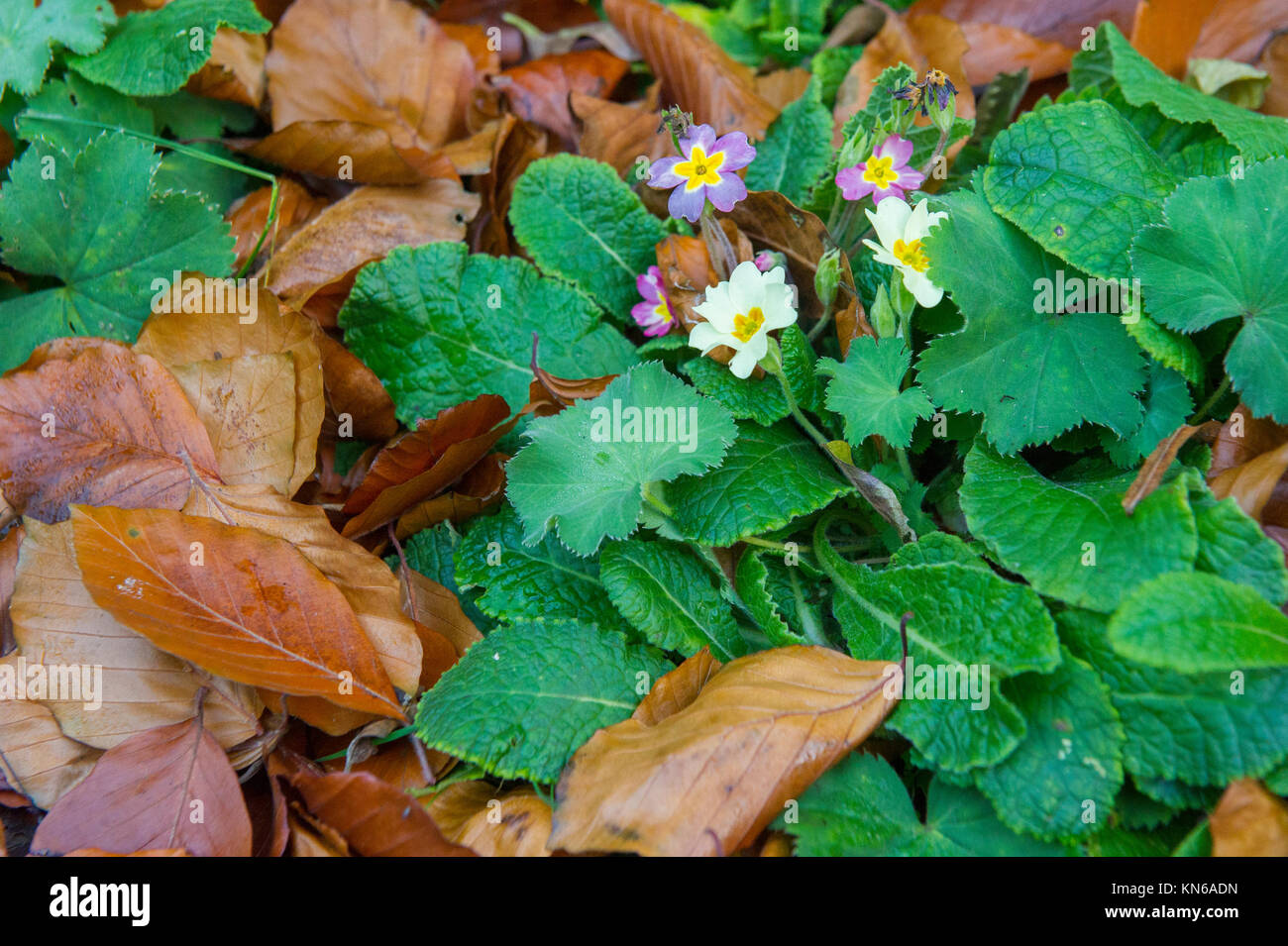 A Primrose flower amongst fallen autumn leaves - Stock Image