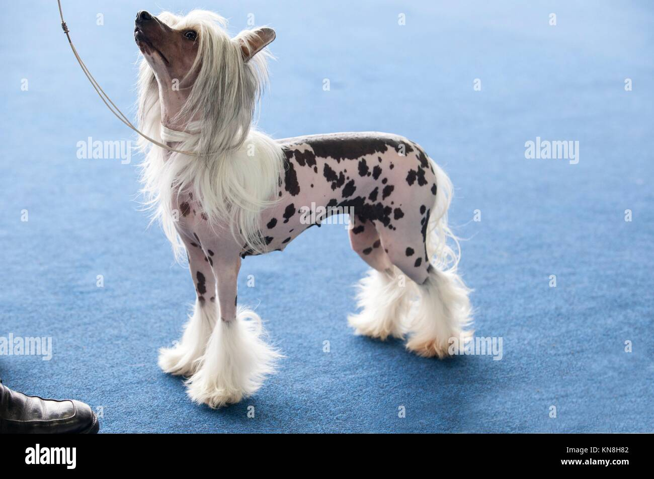 National Dog Show Chinese Crested