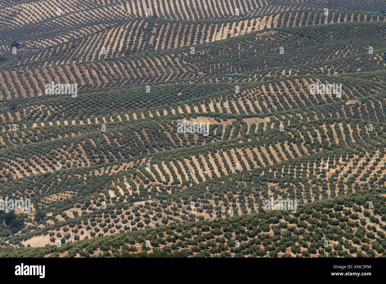 Olive trees, parque natural sierras de Cazorla, Segura y Las Villas, Jaen, Andalucia, Spain. - Stock Image