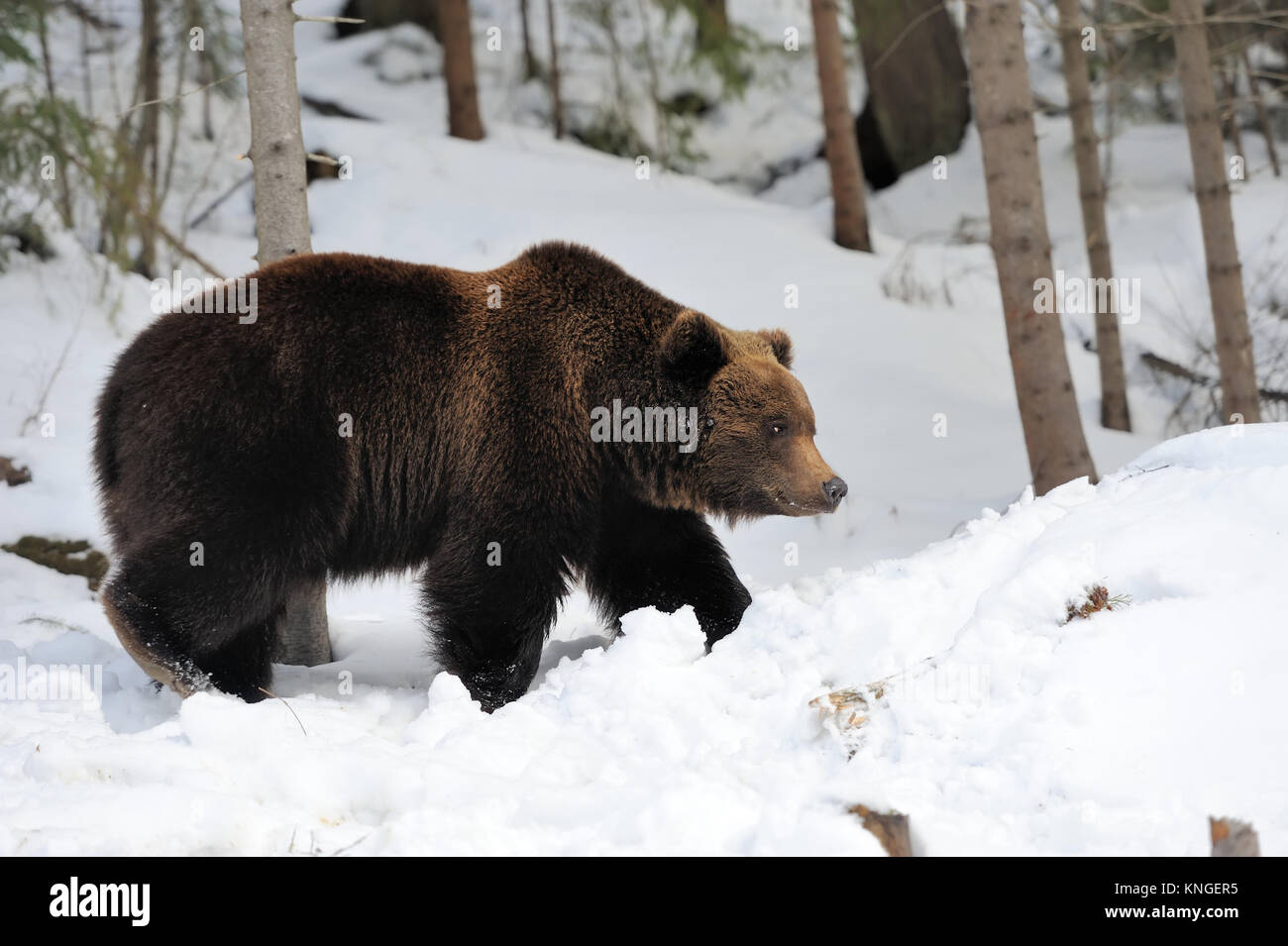 standing angry brown bear stock photos standing angry. Black Bedroom Furniture Sets. Home Design Ideas