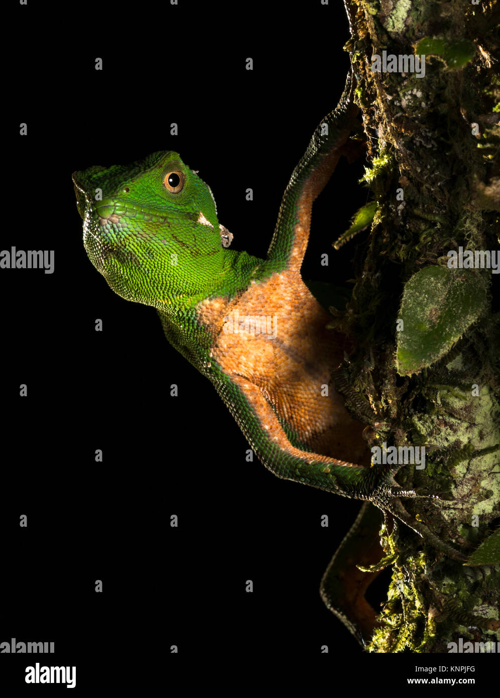 An Enyalius iheringii lizard from the Atlantic Rainforest of SE Brazil - Stock Image