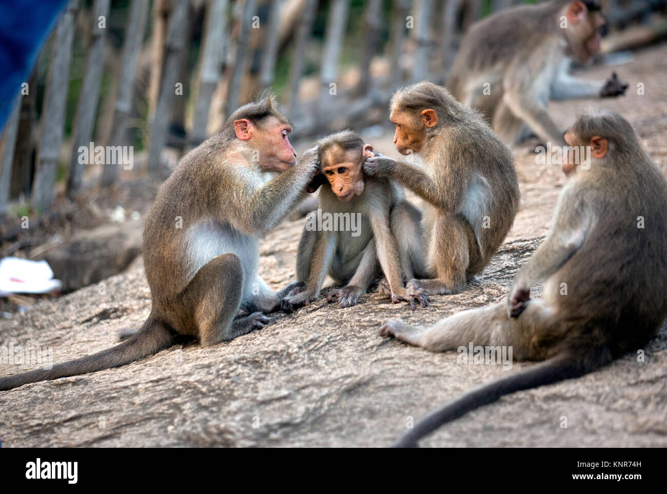 parents caring baby monkey at athirappilly vazhachal water falls,wild life,chalakudy,thrissur,kerala,india,pradeep - Stock Image