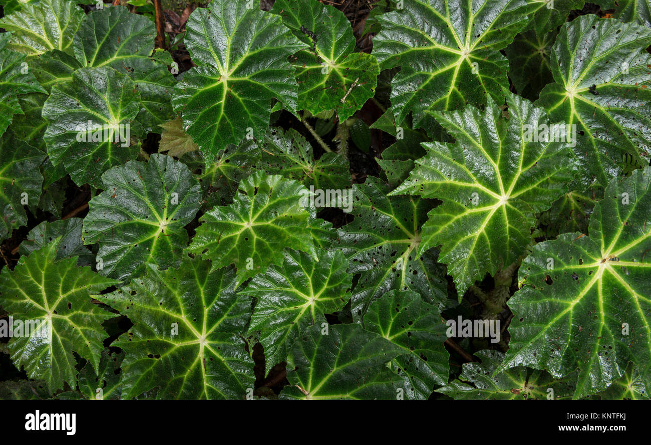 Begonia plant at the understorey of the Atlantic Rainforest of SE Brazil - Stock Image