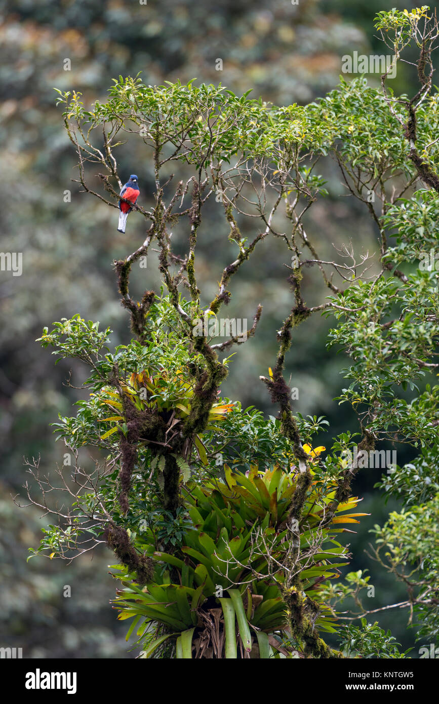 A Surucua Trogon (Trogon surrucura) on top of a tree in the Atlantic Rainforest of SE Brazil. - Stock Image