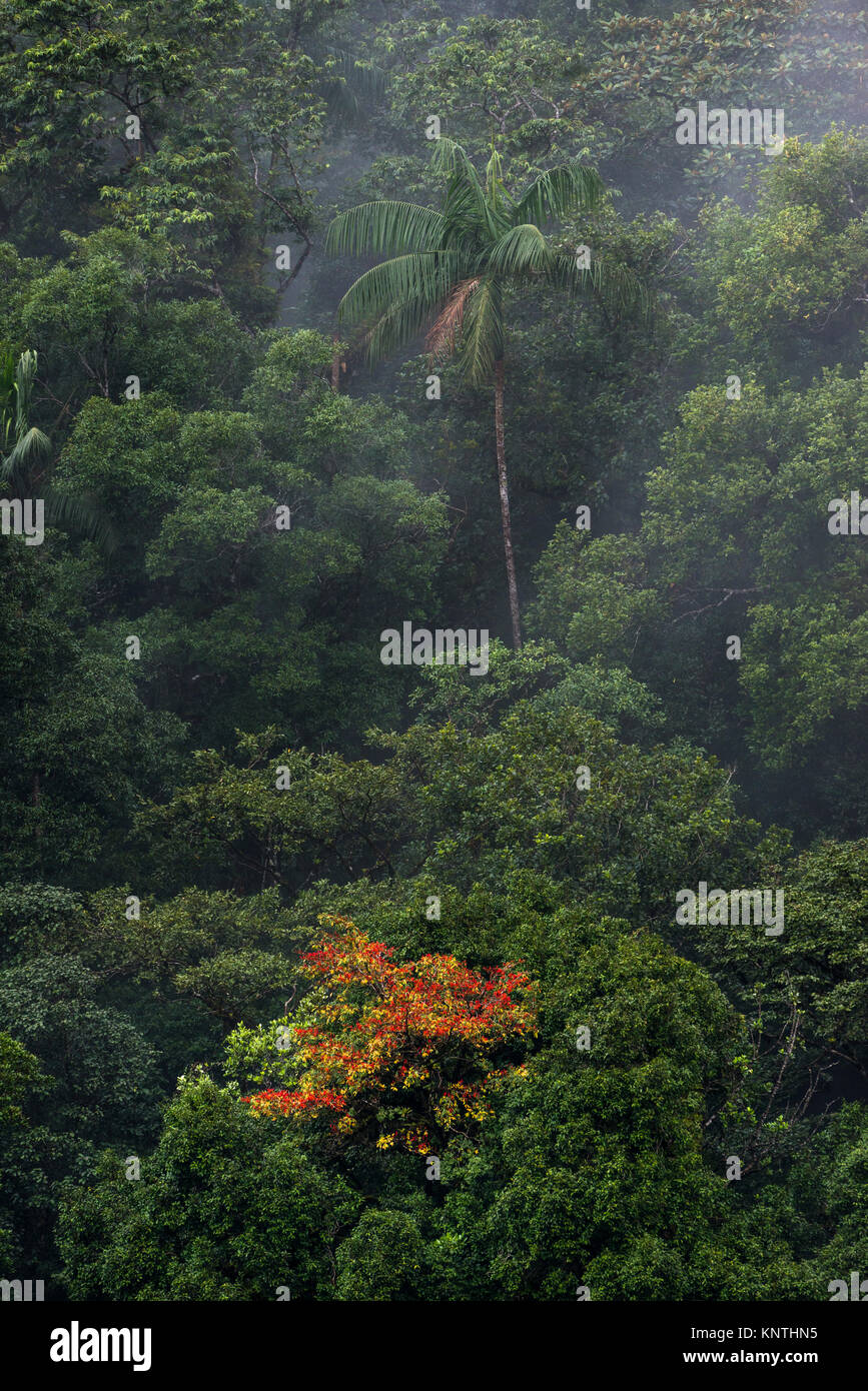 Tropical vegetation from the Atlantic Rainforest of SE Brazil, with a Palmito palm tree - Stock Image