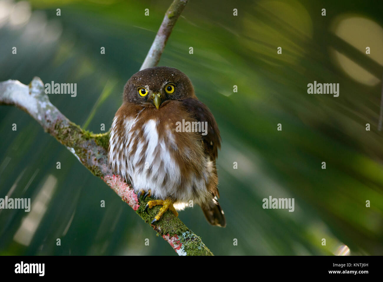 A Least Pygmy-Owl (Glaucidium minutissimum) from the Atlantic Rainforest of SE Brazil - Stock Image