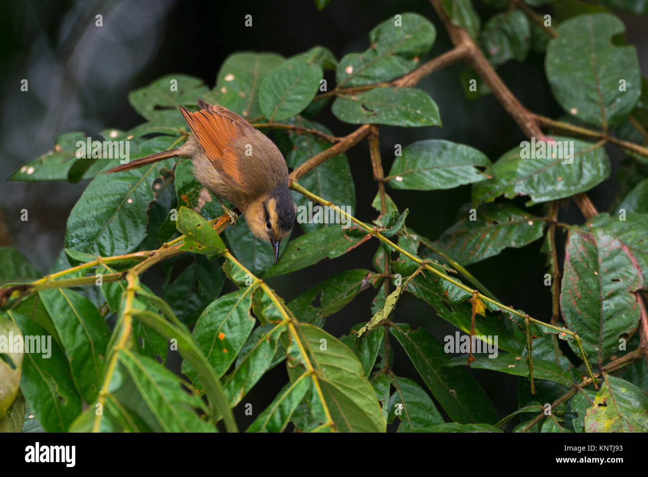 A Buff-fronted Foliage-Gleaner searching for insects among the foliage in the Atlantic Rainforest of SE Brazil - Stock Image
