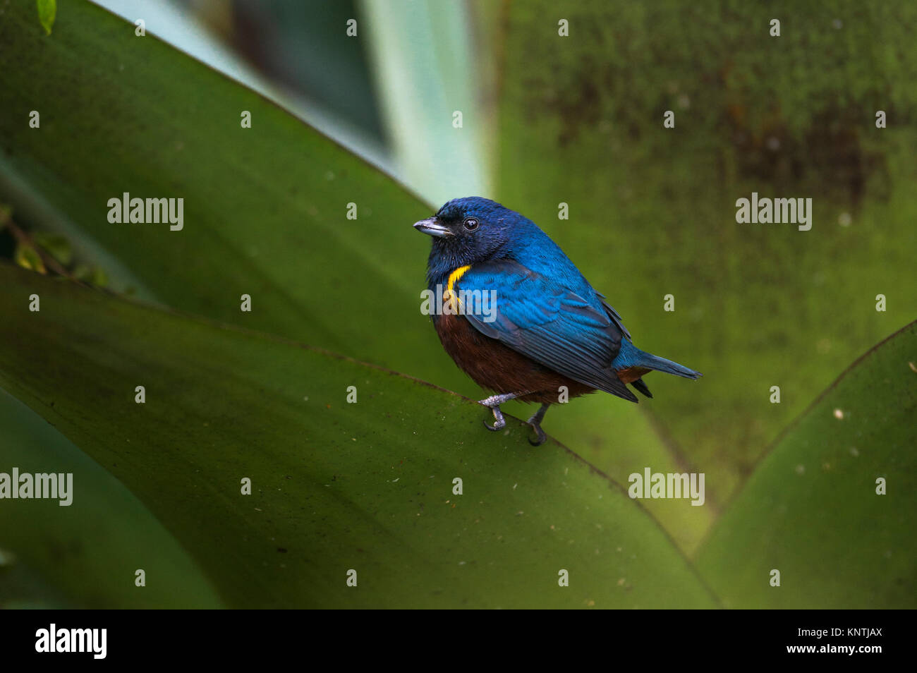A Chestnut-bellied Euphonia perched on a large bromeliad from the Atlantic Rainforest of SE Brazil - Stock Image
