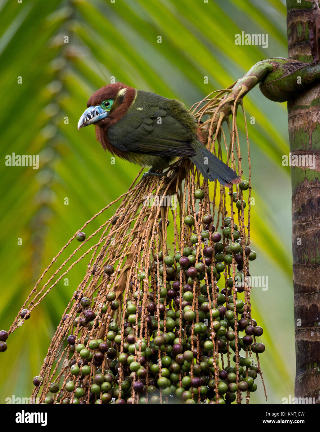 Spot-billed Toucanet feeding on the Palmito fruit in the Atlantic Rainforest of SE Brazil - Stock Image