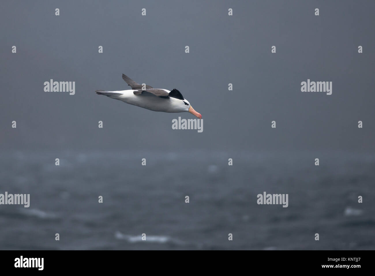 Black-browed Albatross flying in the Straits of Magellan, Chile - Stock Image