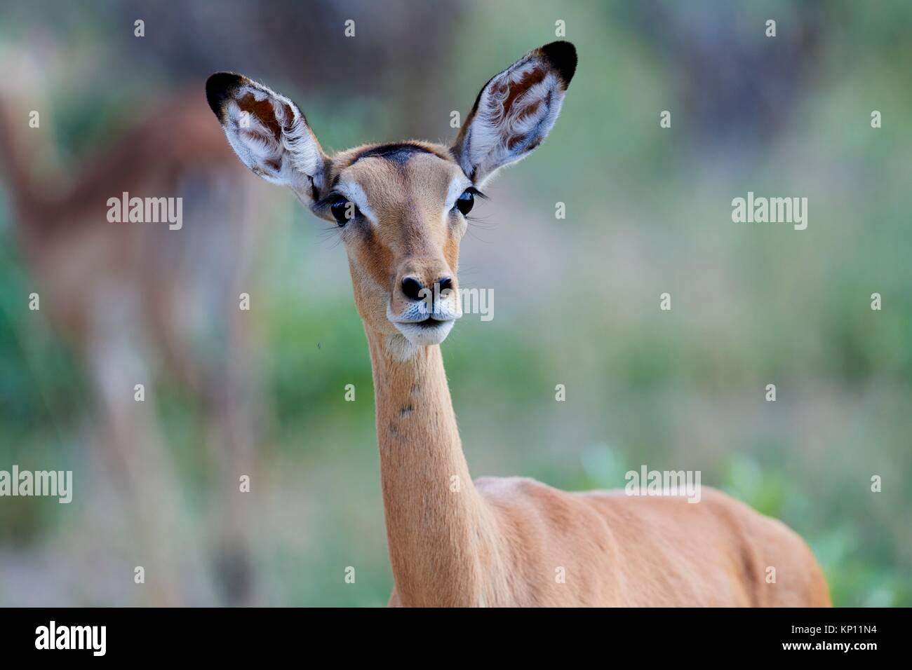 Impala female (Aepyceros melampus) in alert. Hwange National Park, Zimbabwe. - Stock Image