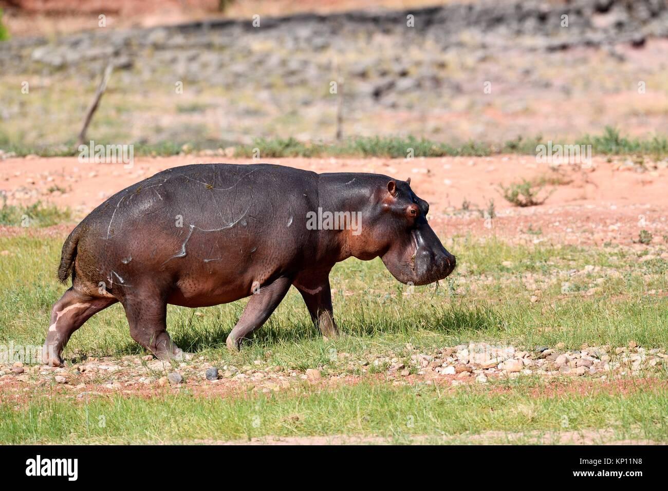 Hippopotamus (Hippopotamus) walking in Matusadona National Park, Zimbabwe. - Stock Image
