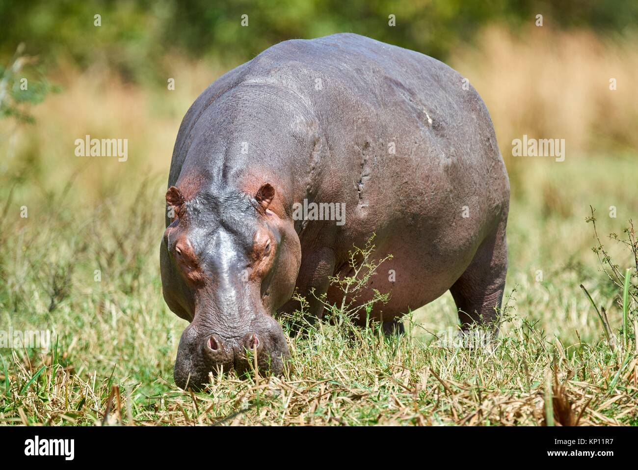 Hippopotamus grazing (Hippopotamus amphibius) Murchisson Falls National Park, Uganda. - Stock Image