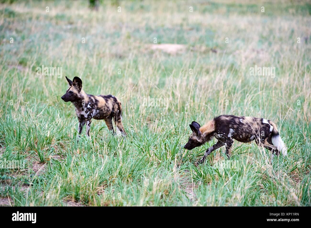 Two African wild dogs (Lycaon pictus) walking in savanna. Hwange National Park, Zimbabwe. - Stock Image