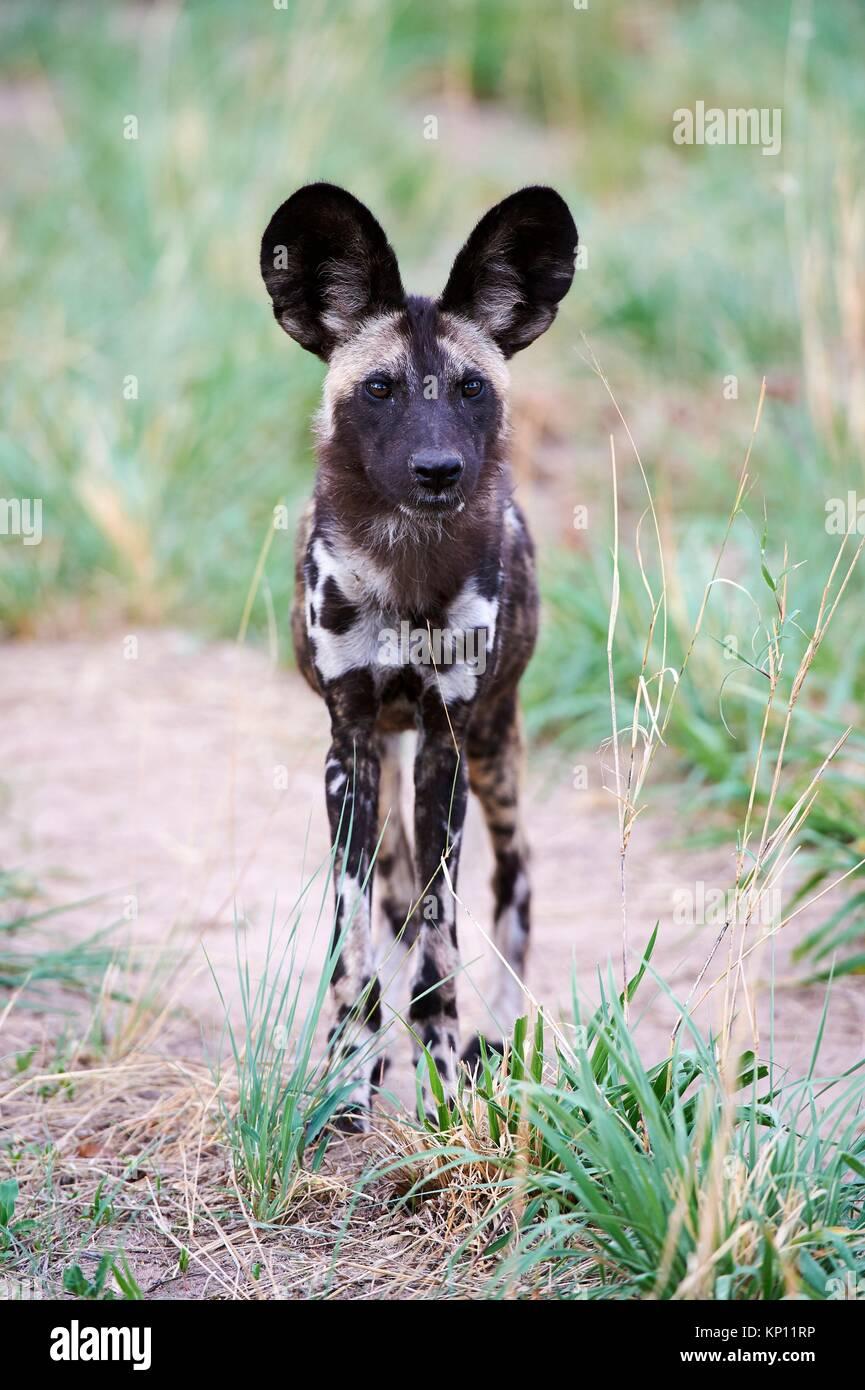 African wild dog portrait (Lycaon pictus) Hwange National Park, Zimbabwe. - Stock Image