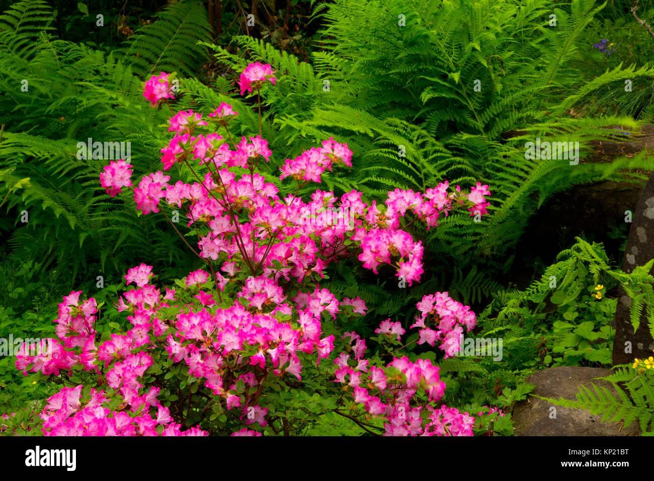 Azalea bloom, Rhododendron Garden, Hendricks Park, Eugene, Oregon. - Stock Image