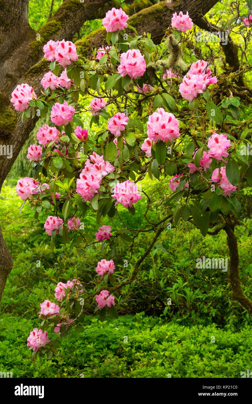Rhododendron bloom, Rhododendron Garden, Hendricks Park, Eugene, Oregon. - Stock Image