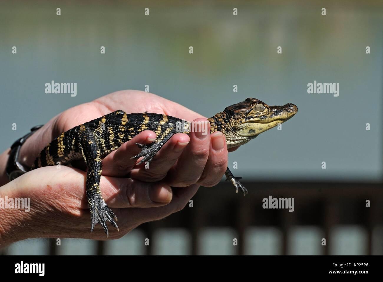 juvenile alligator, Gator Country Wildlife Adventure Park, Beaumont, Texas, United States of America, North America. - Stock Image