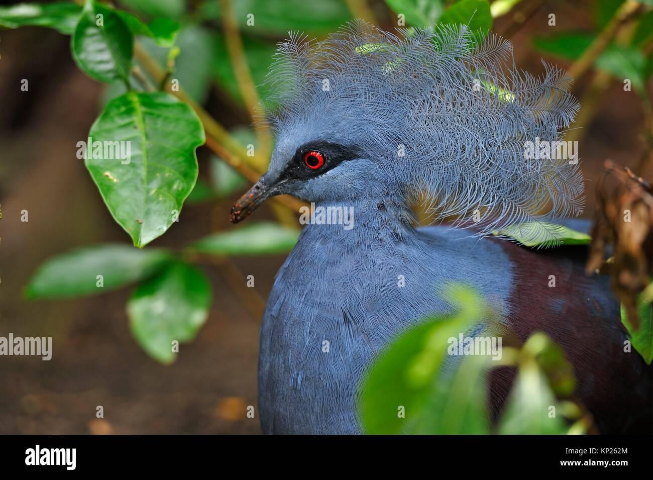 Victoria crowned pigeon (Goura victoria), Rainforest Pyramid, Moody Gardens, Galveston island, Gulf of Mexico, Texas, - Stock Image