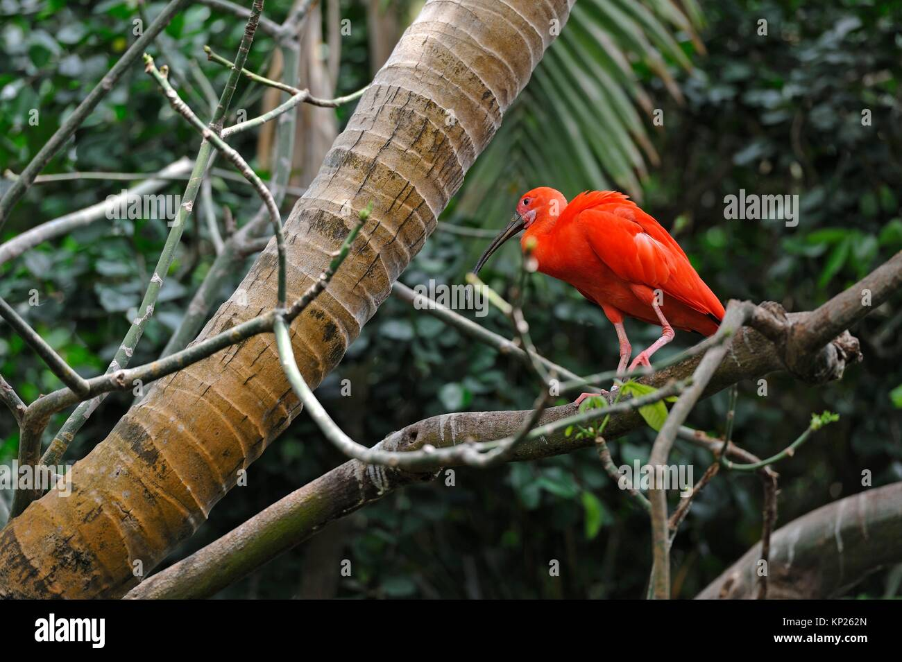 scarlet ibis inside the Rainforest Pyramid, Moody Gardens, Galveston island, Gulf of Mexico, Texas, United States - Stock Image