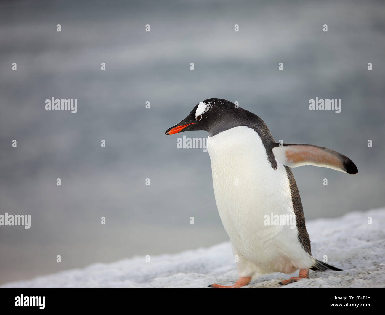 Adelie Penguin Mother and Baby