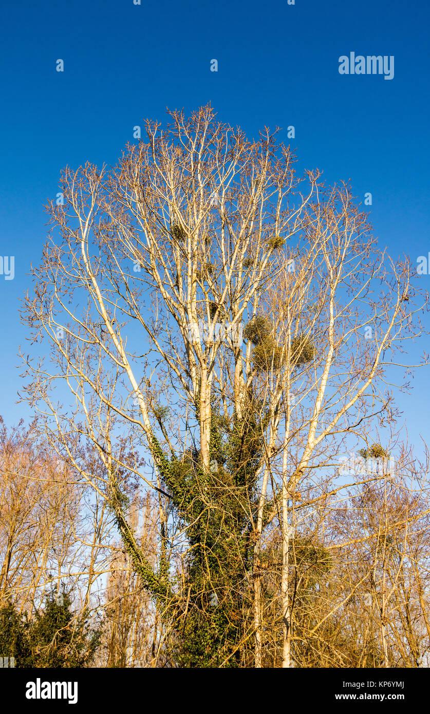 Black Italian Poplar tree in Autumn - France. - Stock Image