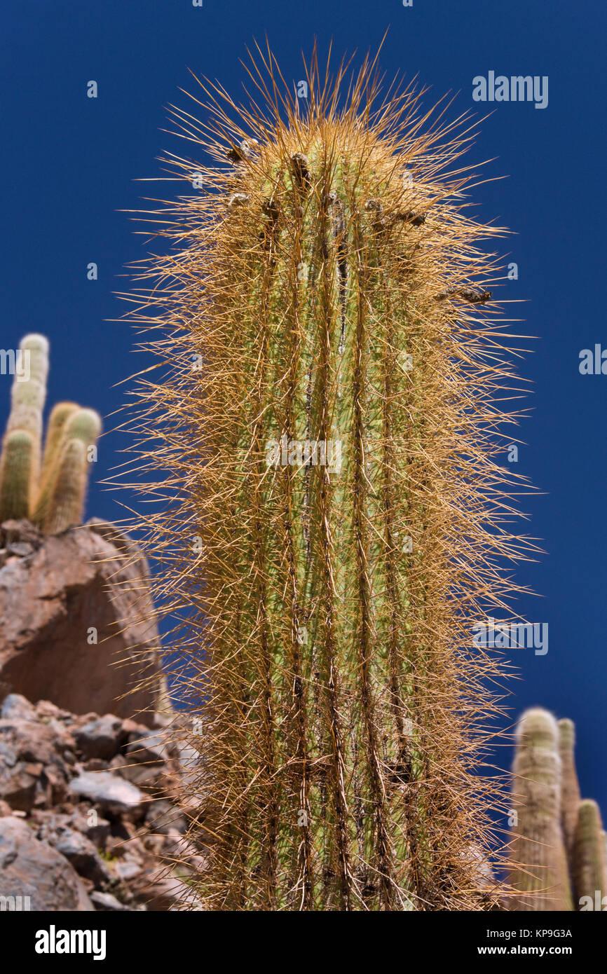Spikes of a cactus in Cactus Canyon in the Atacama Desert near San Pedro de Atacama in northern Chile, South America. - Stock Image